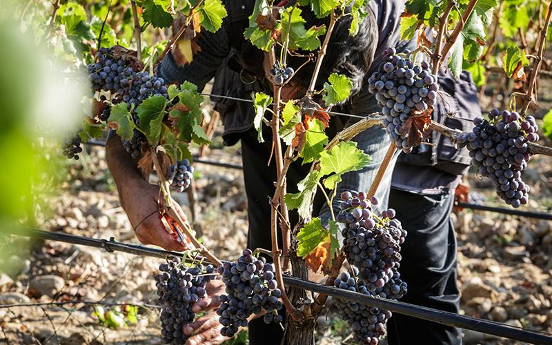antonellacorda_taglio-grappoli Cannonau